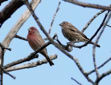 House finches at Breakneck Hill Conservation Land in Southborough, photographed by Steve Forman.