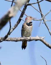 A northern flicker at Breakneck Hill Conservation Land in Southborough, photographed by Steve Forman.