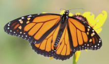 A monarch butterfly in Framingham, photographed by Steve Forman.