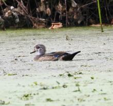A wood duck at Grist Mill Pond in Sudbury, photographed by Steve Forman.
