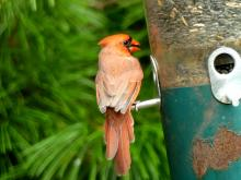 A northern cardinal at a feeder in Lincoln, photographed by Harold McAleer.