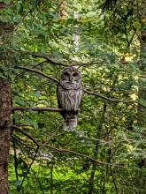 A barred owl in Sudbury, photographed by Bill Watkins.