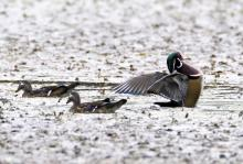 Wood ducks at Grist Mill Pond in Sudbury, photographed by Steve Forman.