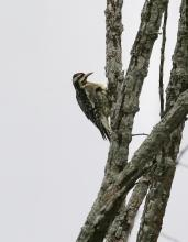 A yellow-bellied sapsucker at Breakneck Hill Conservation Land in Southborough, photographed by Steve Forman.