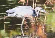 A great blue heron at Bartlett Pond in Northborough, photographed by Steve Forman.