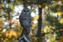 A barred owl in Natick, photographed by Greg Dysart.