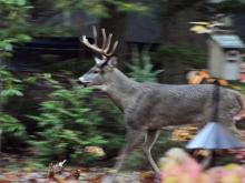 A white-tailed deer in Lincoln, photographed by Ron McAdow.