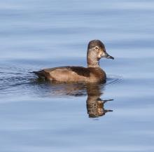 A ring-necked duck at Foss Reservoir in Framingham, photographed by Steve Forman.