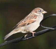 A house sparrow in Framingham, photographed by Steve Forman.