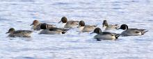 Northern pintails at Hager Pond in Marlborough, photographed by Steve Forman.