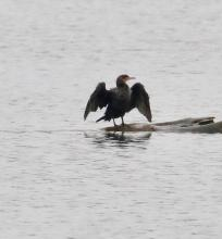 A double-crested cormorant at Foss Reservoir in Framingham, photographed by Steve Forman.