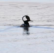 A hooded merganser on the Sudbury Reservoir in Southborough, photographed by Steve Forman.