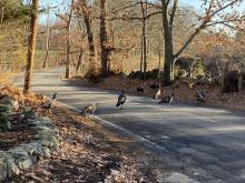 Turkeys in Wayland, photographed by Shelley Trucksis.