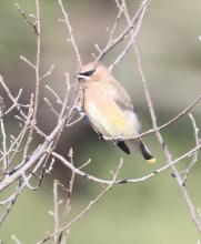 A cedar waxwing at Breakneck Hill Conservation Land in Southborough, photographed by Steve Forman.