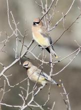 Cedar waxwings at Breakneck Hill Conservation Land in Southborough, photographed by Steve Forman.