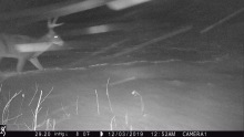 A white-tailed deer in Harvard, photographed with an automatically triggered wildlife camera by Steve Cumming.