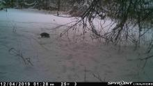 An opossum at SVT's Sawink Farm in Westborough, photographed with an automatically triggered wildlife camera by Josh Street.