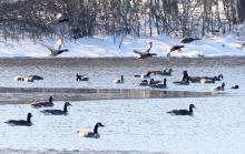 Mallards and Canada geese at Hager Pond in Marlborough, photographed by Steve Forman.