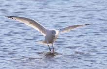 A herring gull at Hager Pond in Marlborough, photographed by Steve Forman.