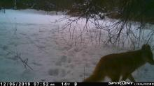 A red fox at SVT's Sawink Farm in Westborough, photographed with an automatically triggered wildlife camera by Josh Street.