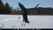 American crows in Stow, photographed with an automatically triggered wildlife camera by Steve Cumming.