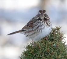 A song sparrow in Framingham, photographed by Steve Forman.