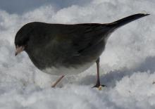A dark-eyed junco in Sudbury, photographed by Sharon Tentarelli.