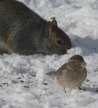 A house sparrow and a gray squirrel in Sudbury, photographed by Sharon Tentarelli.