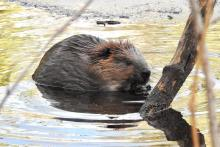A beaver at Wayland Reservoir in Wayland, photographed by Chuck Hill.