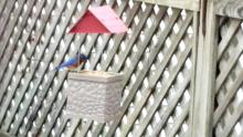 An eastern bluebird in Maynard, photographed by William Watt.