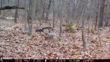 A coyote carrying the leg of a deer in Stow, photographed by Steve Cumming with an automatically triggered wildlife camera.
