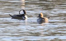 A pair of hooded mergansers at Hager Pond in Marlborough, photographed by Steve Forman.