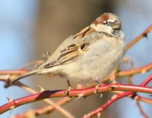A house sparrow at Breakneck Hill Conservation Land in Southborough, photographed by Steve Forman.