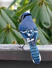 A blue jay in Framingham, photographed by Joan Chasan.