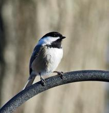 A black-capped chickadee in Framingham, photographed by Joan Chasan.
