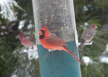 House finches and a northern cardinal in Lincoln, photographed by Harold McAleer.