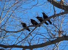 American crows in Framingham, photographed by Joan Chasan.