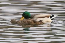Mallards mating on Hager Pond in Marlborough, photographed by Steve Forman.