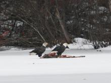 Bald Eagles at a deer carcass on Farrar Pond in Lincoln, photographed by Ron McAdow.