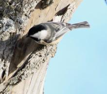 A black-capped chickadee in Southborough, photographed by Steve Forman.