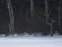 Coyotes at Farrar Pond in Lincoln, photographed by Ron McAdow.
