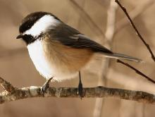 A black-capped chickadee at Assabet River National Wildlife Refuge, photographed by Dan Trippe.