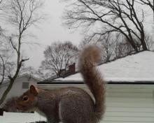 A gray squirrel in Maynard, photographed by William Watt.