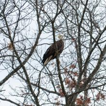 A bald eagle at Mill Pond in Maynard, photographed by Dany Pelletier.