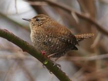 A winter wren at Valley Pond in Lincoln, photographed by Norm Levey.