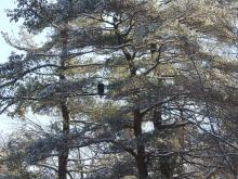 A bald eagle along the Sudbury River in Framingham, photographed by Thomas Schneider.