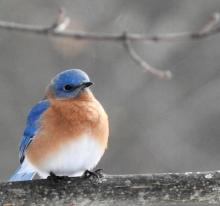 An eastern bluebird in Framingham, photographed by Katharine Becker.