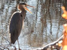 A great blue heron on the Sudbury River in Framingham, photographed by Tom Schneider.