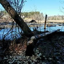 Signs of beavers at SVT's Lyons-Cutler Reservation in Sudbury, photographed by Alice Howe.