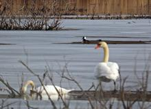 A hooded merganser and mute swans at Heard Pond in Wayland, photographed by Joan Chasan.